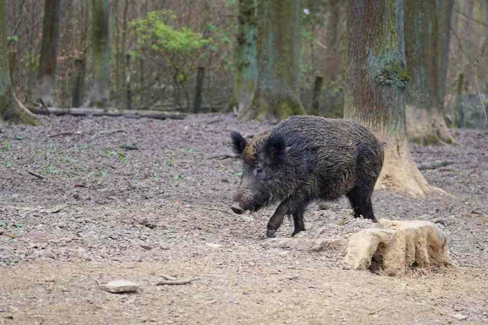 trening biegacza i napotkany w lesie dzik