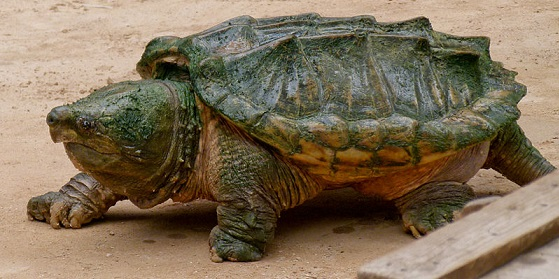 800px Alligator snapping turtle Geierschildkröte Alligatorschildkröte Macrochelys temminckii 01