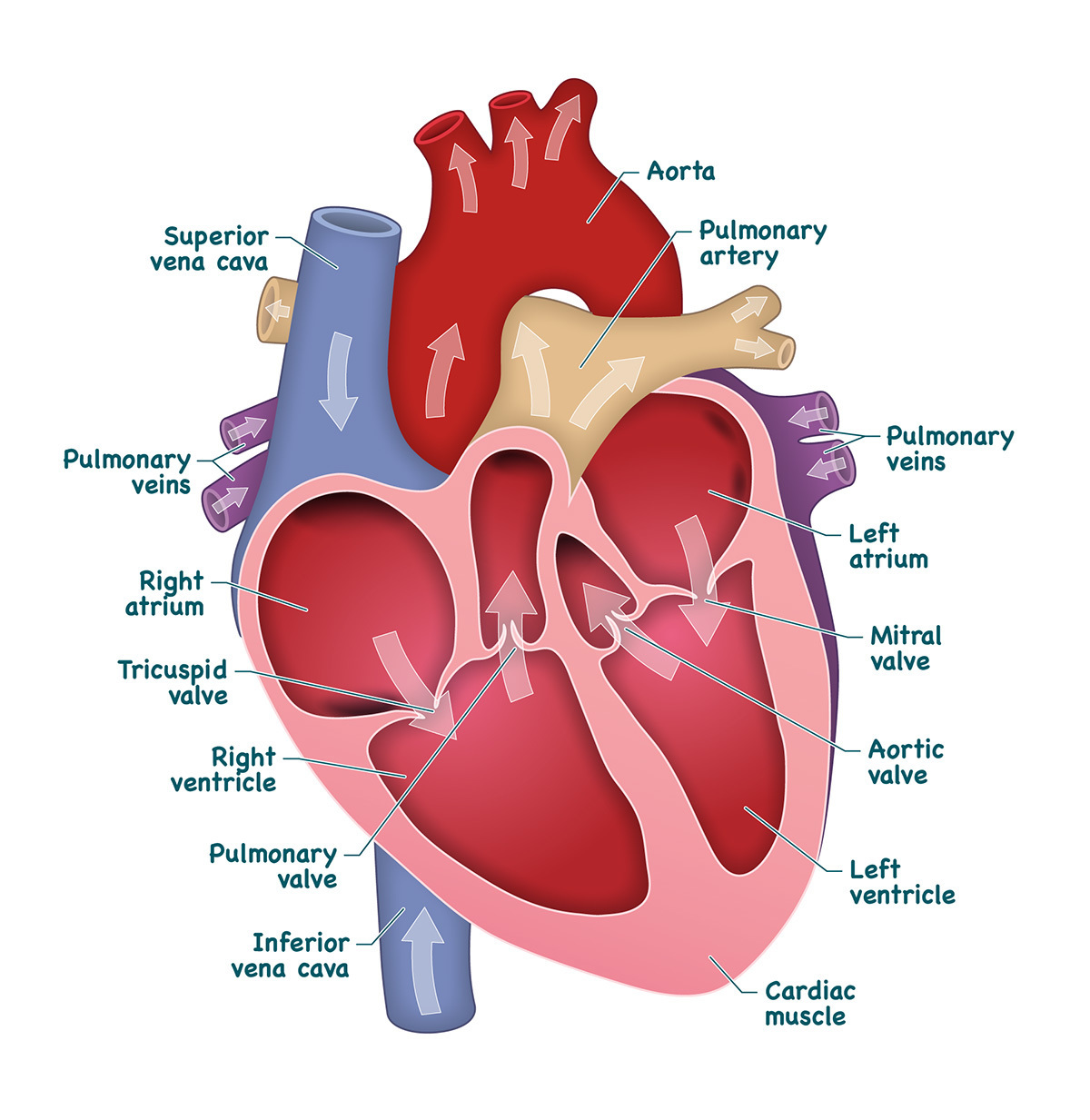 Draw A Heart Label The Chambers And Draw Arrows To Show The Flow Of Blood Through The Heart