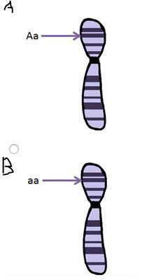 Which Diagram Shows A Homologous Chromosome Pair That Has Heterozygous Alleles? : which, diagram, shows, homologous, chromosome, heterozygous, alleles?, Which, Diagram, Shows, Homologous, Chromosome, Heterozygous, Alleles?, Brainly.com