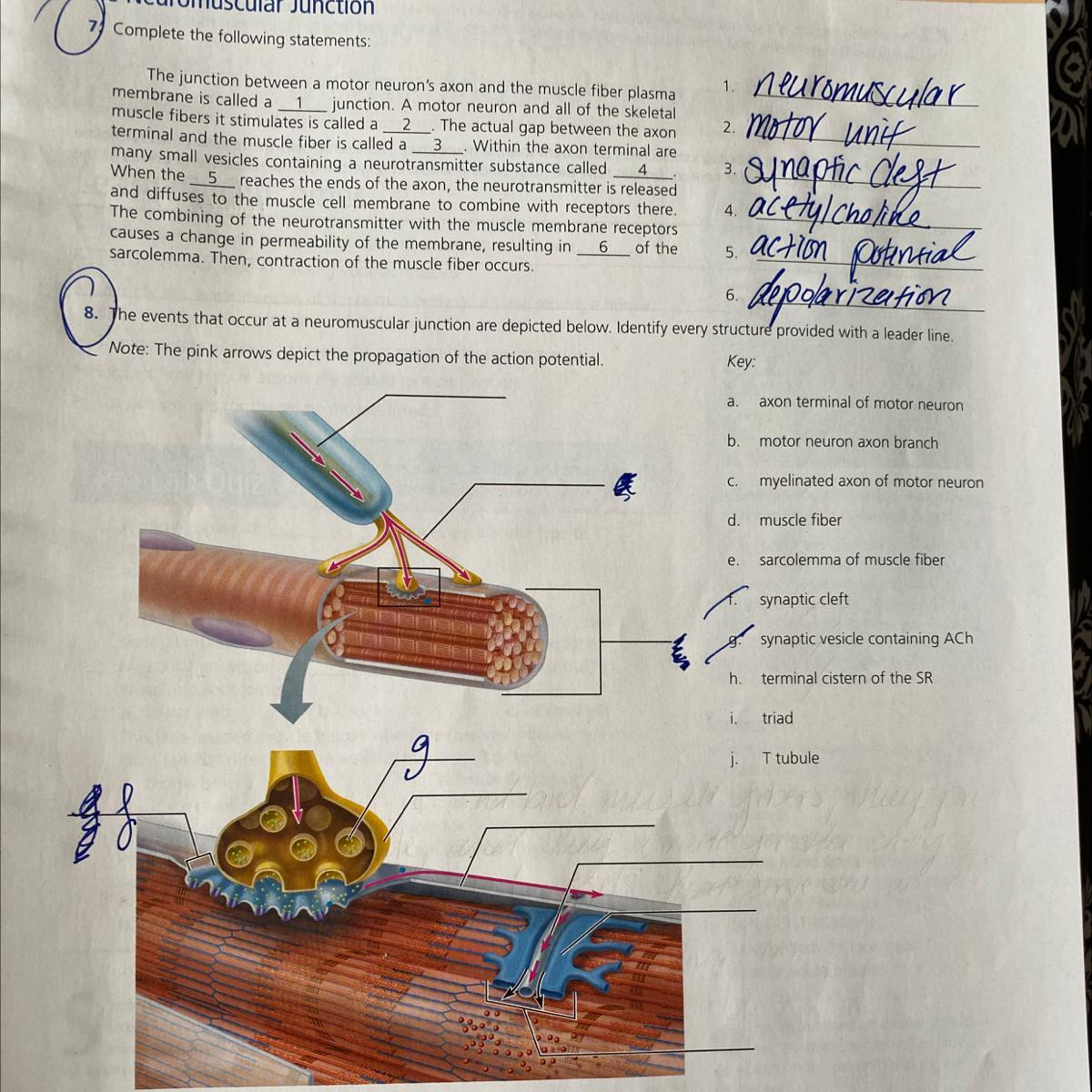8 The Events That Occur At A Neuromuscular Junction Are