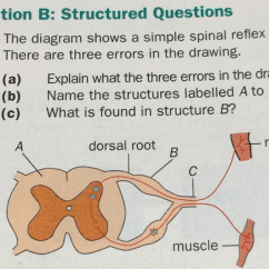 Diagram Of A Simple Reflex Arc Tooth With Label Section B Structured Questions The Shows Spinal There Are Three Errors Brainly Com