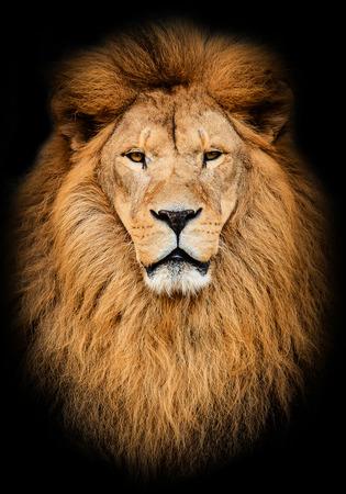 lion face stock photos