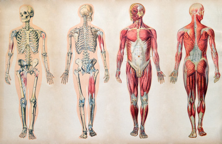 Old vintage anatomy charts of the human body showing skeletal system and various muscles also rh rf