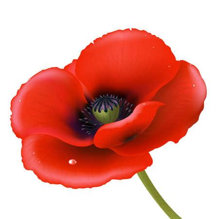 poppy: Red Poppy, Isolated On White Background Illustration