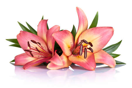 Pink lily flowers on white background. Macro shot Stock Photo - 21492149