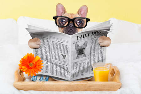 reading: french bulldog dog having nice breakfast or lunch in bed, reading the newspaper