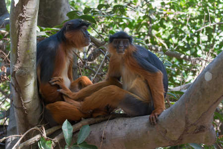 Male and female Western Red Colobus Monkey Piliocolobus badius together in a tree Stock Photo - 26138556