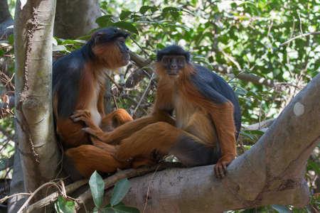 pria dan wanita Western Red Colobus monyet Piliocolobus badius bersama di pohon Stock Photo - 26138556