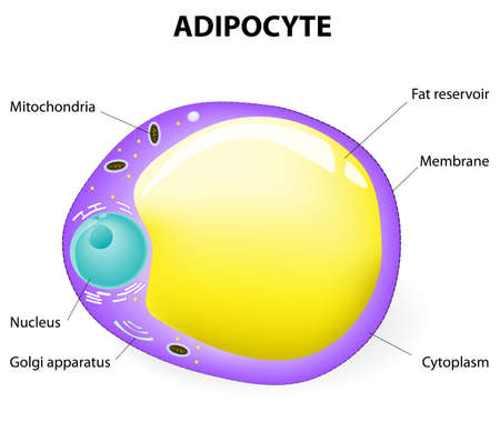 white fat cell diagram winch control wiring adipose tissue stock photos and images 123rf adipocyte is responsible for accumulation energy obesity weight gain