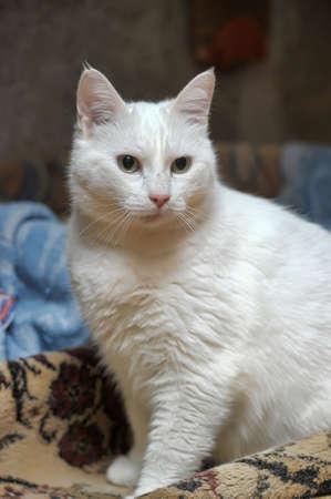 thick white cat Stock Photo - 33446883