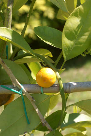 small lemon: The photograph of a small lemon at a young plant Stock Photo