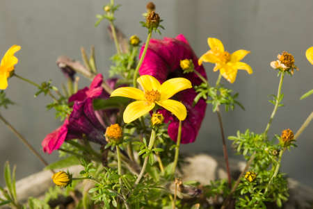 Yellow Potted Flowers Stock Photo - 40562387