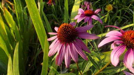 Earl Grey Tea Blossom Stock Photo - 43442499