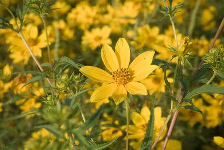 Tickseed Sunflower in grass Macro Photography Stock Photo - 44713508