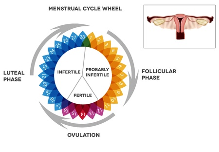 Menstrual cycle calendar detailed diagram of female period illustrated reproductive organs stock vector also rh rf