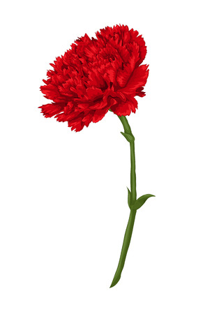 carnation stock photos and
