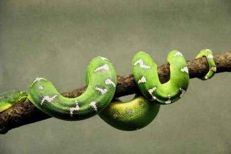 Serpent Vert Vert Serpent Tropical Couche Sur Une Branche Dun Arbre Avec Un