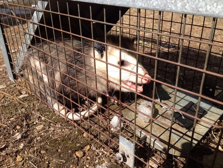 possum: Opossum caught in a live trap cage