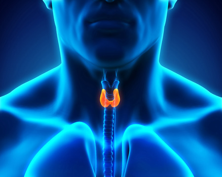 Human Thyroid Gland Stock Photo - 30511389