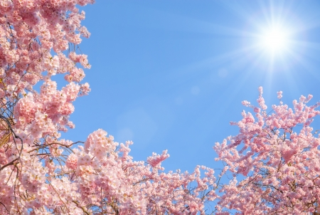 Blossoming cherry trees framing the nice blue sky with the sun Stock Photo - 17897589
