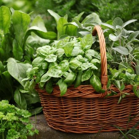 basket of fresh herbs: Basket with fresh herbs in herb garden.