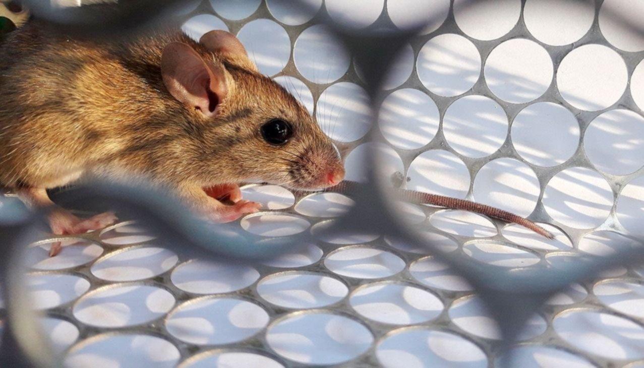 Hantavirus, la cepa presente en Salta no se contagia entre humanos