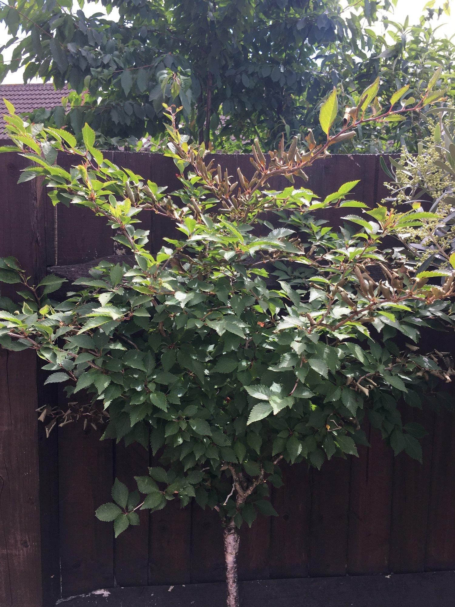Prunus Kojo No Mai : prunus, Sudden, Leaves, Prunus, Gardeners', World, Magazine