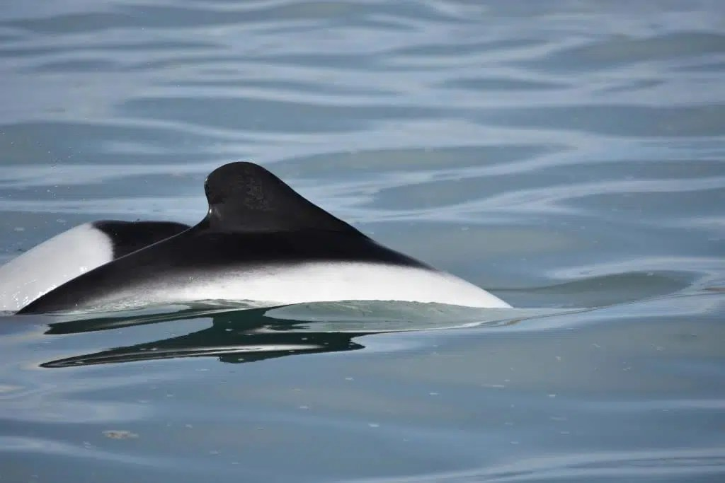 commerson s dolphin whale