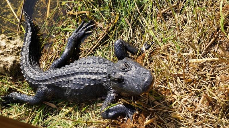 Alligator- Everglades