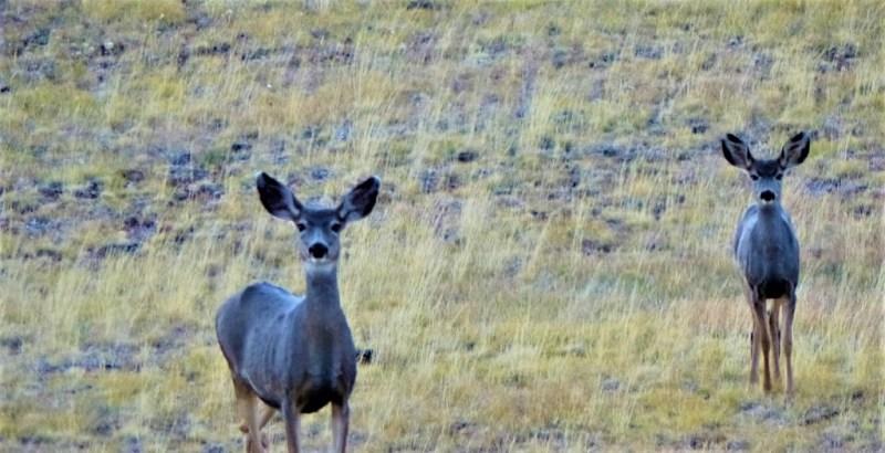 Mule Deers Maultierhirsch