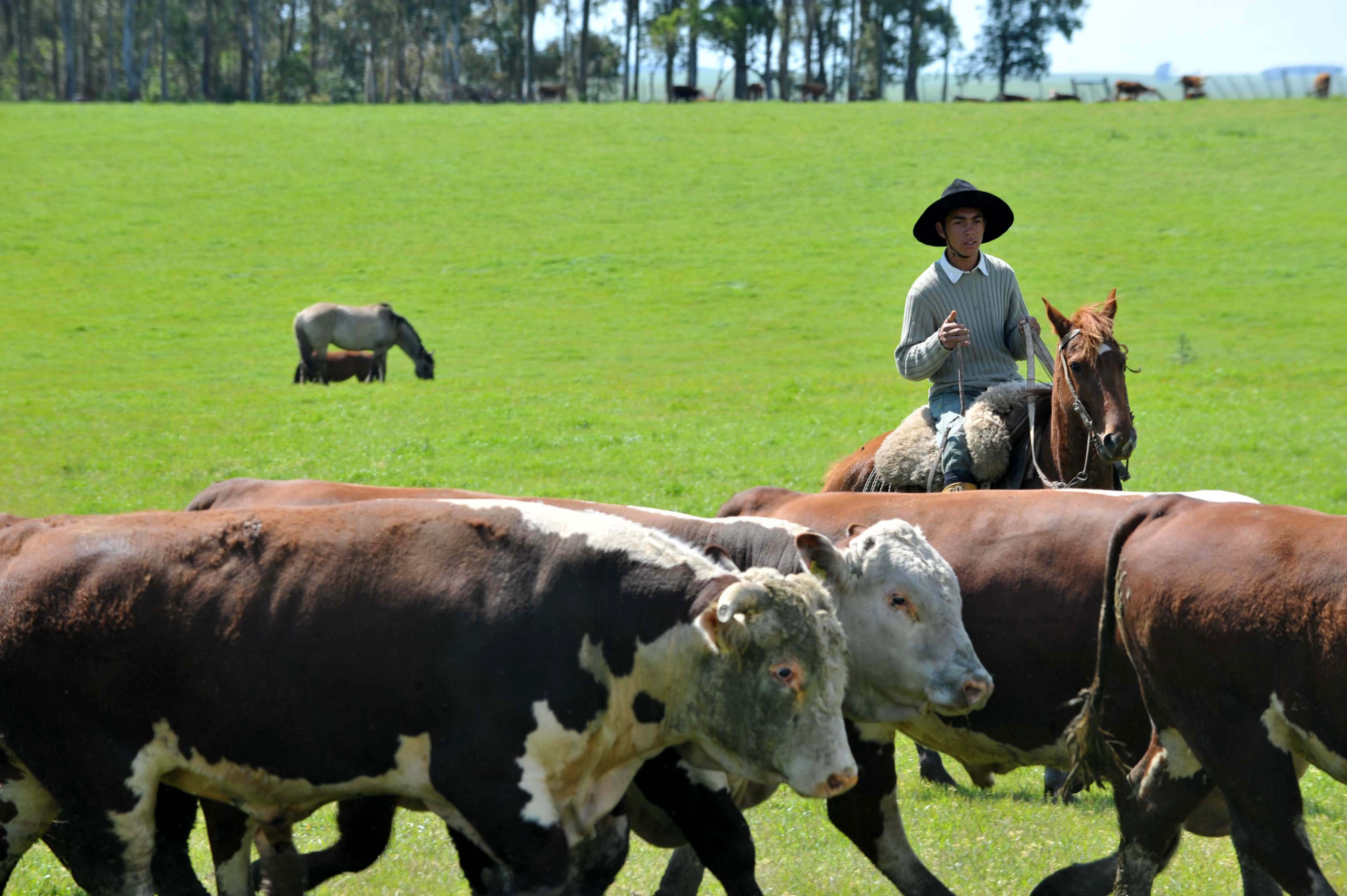 Image result for cattle, brazil, photos