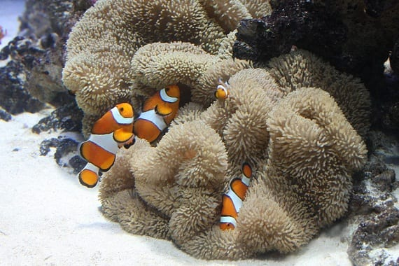 Creature Feature Clownfish Oceana USA