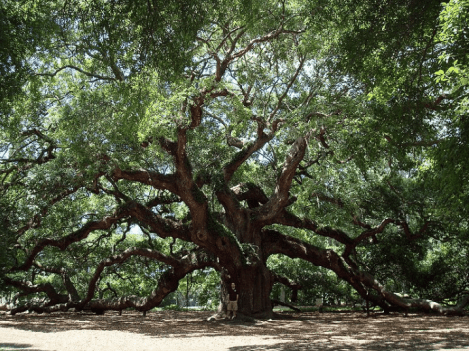 "The famous ""Angel Oak"" Tree on Johns Island. Photo Wikipedia"