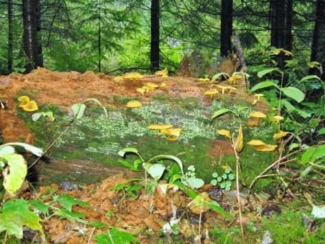 Die Pilze lieben das feuchte Wetter