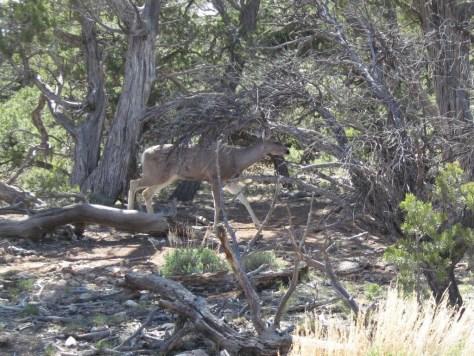 Ein Reh (Deer) mitten auf dem Wanderweg