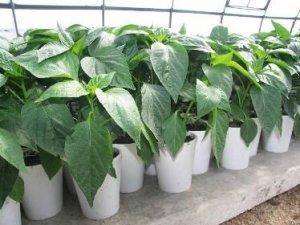 Как вырастить крепкую рассаду перца