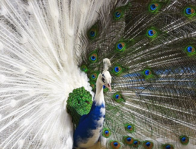 Nigeria as a peacock society. By Okey Ndibe