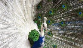 Nigeria as a peacock society. By Okey Ndibe