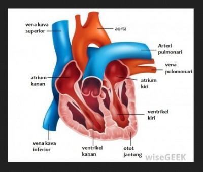 Komponen Sistem peredaran darah pada manusia  Recycle