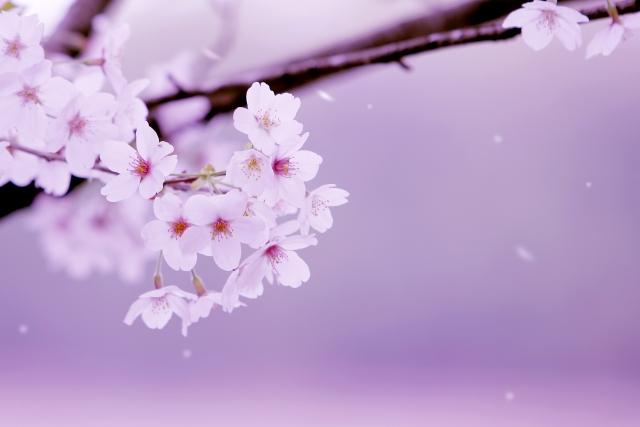 春に開運できる楽しい花風水!金運も上がる桜風水の方法や効果とは?