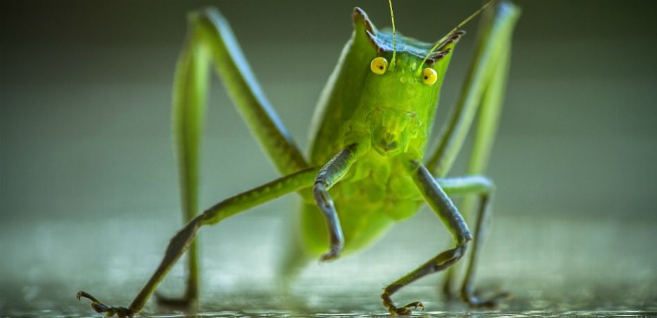 A close up image of a cricket