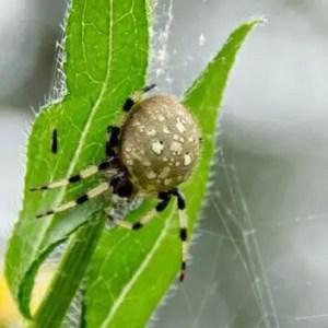 Araneus Trifolium - Shamrock Spider Picture