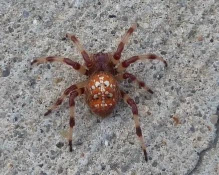 Araneus Trifolium - Shamrock Spider