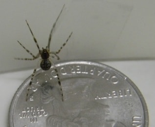 Common House Spider Picture