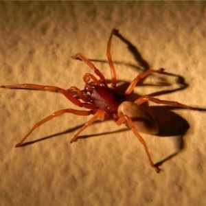 Dysdera Crocata - Woodlouse Spider