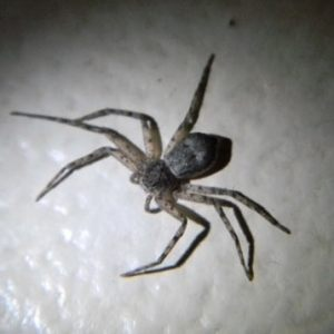 Philodromus - Running Crab Spider