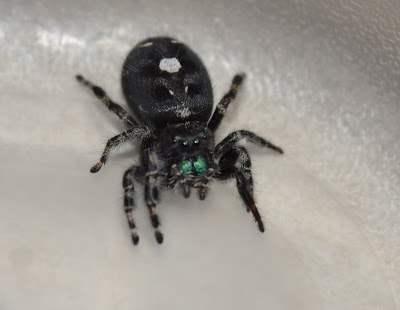 Picture of a daring jumping spider