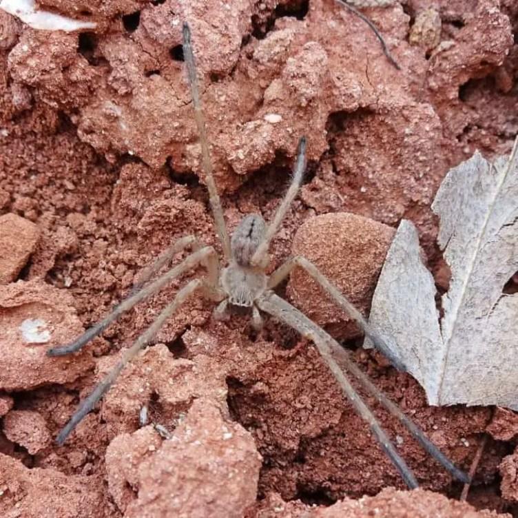 Olios giganteus giant crab spider in California