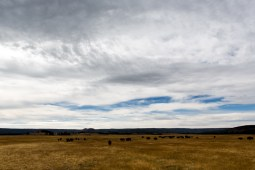 Just a portion of the herd of buffalo in the distance at Yellowstone National Park